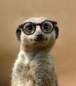 Meerkat-Professor