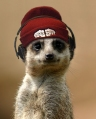 Meerkat_Beanie-and-cans